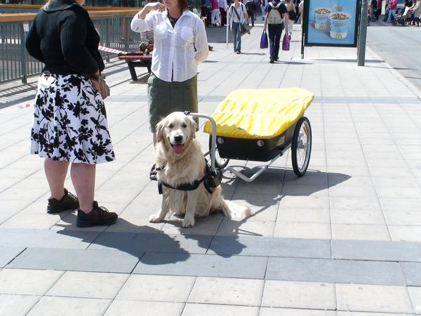 拉貨車的黃金獵犬