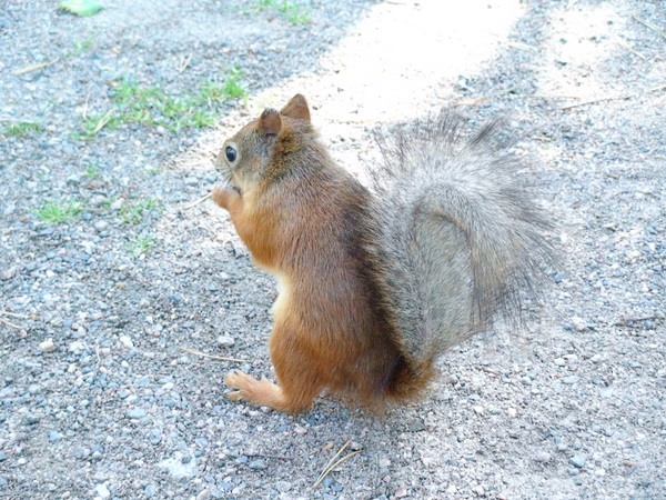 來討食物的小松鼠