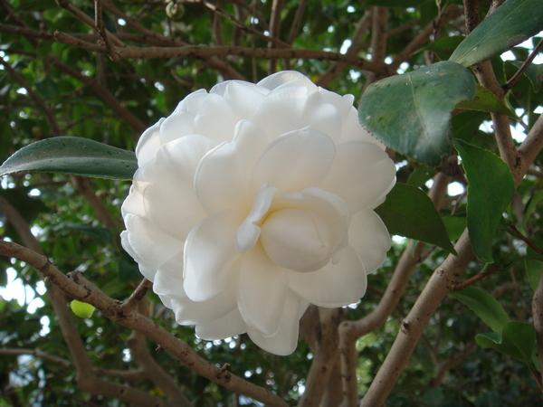 開得正好的白色茶花