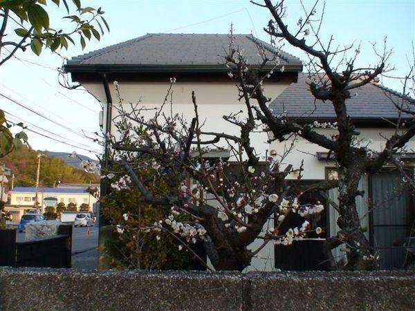 322梅花.JPG
