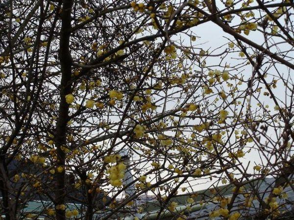 491黃色的櫻花.JPG