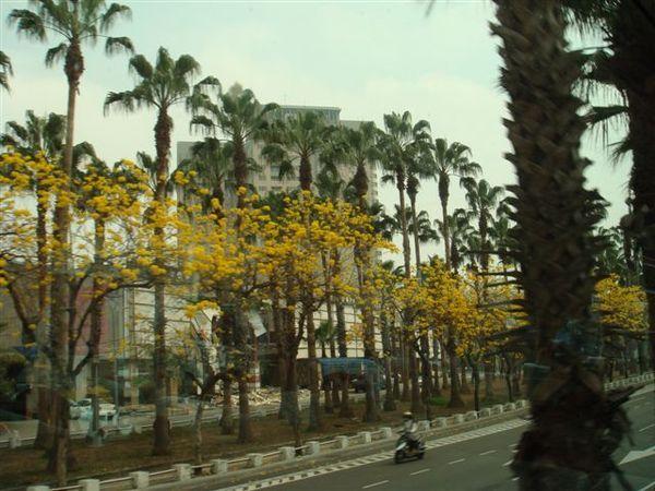 整排的黃花風鈴木