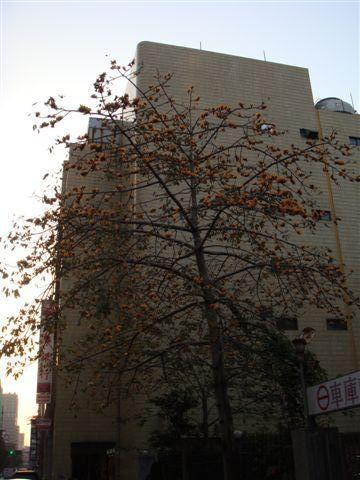 這是台北市的黃色木棉