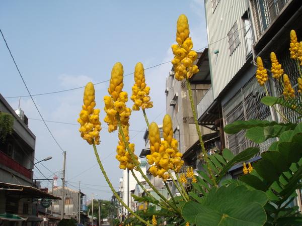 漂亮的黃花