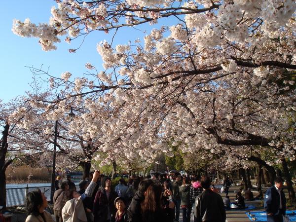 上野公園櫻花季