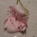 康乃馨花瓣.JPG