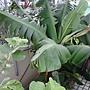 香蕉也來屋頂有機菜園