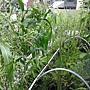 玉米也來屋頂有機菜園