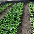 輕鬆農場種薑3