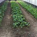 輕鬆農場種薑2