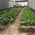 輕鬆農場種薑1