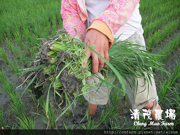 水稻田雜草管理 (2)