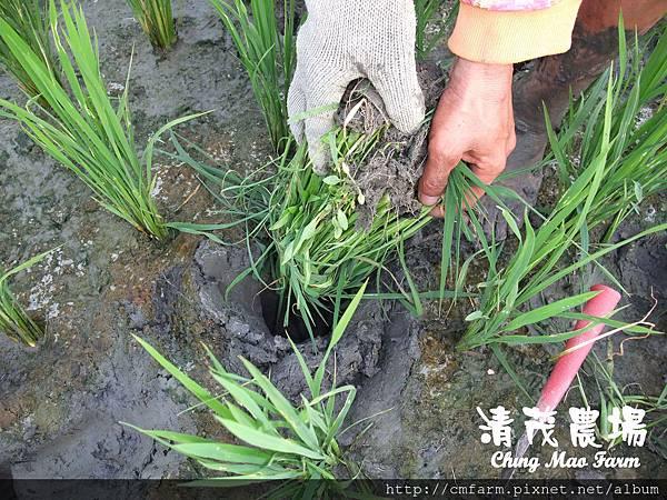 水稻田雜草管理 (4)