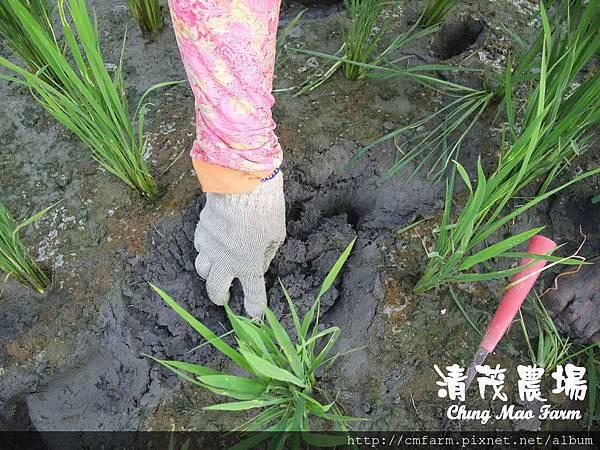 水稻田雜草管理 (7)