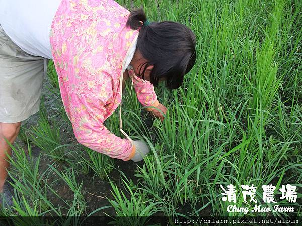 水稻田雜草管理(1)