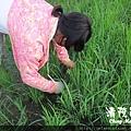 水稻田雜草管理(一)01