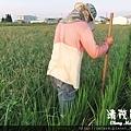水稻田雜草管理 (二)01
