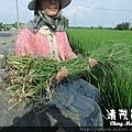 水稻田雜草管理 (三)01