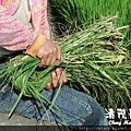 水稻田雜草管理 (三)02