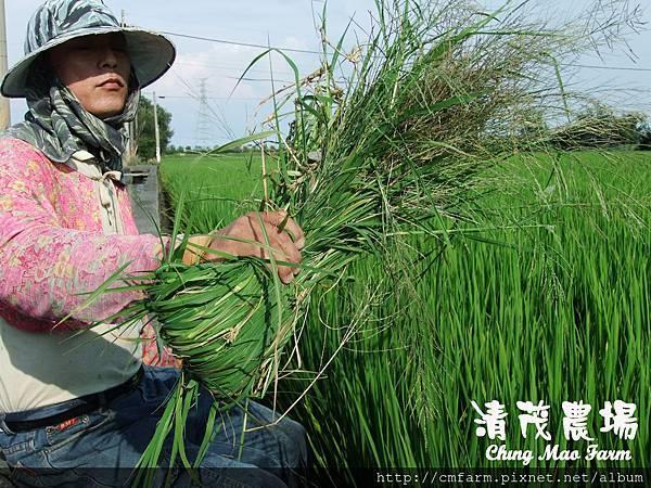 水稻田雜草管理 (三)03