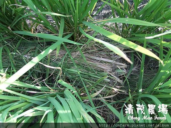 水稻田雜草管理 (三)08