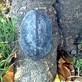 烏龜3.jpg