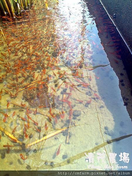 小泰國鱧魚1.jpg