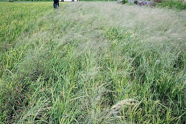 阿娘喂啊!這是稻田嗎?(1).jpg