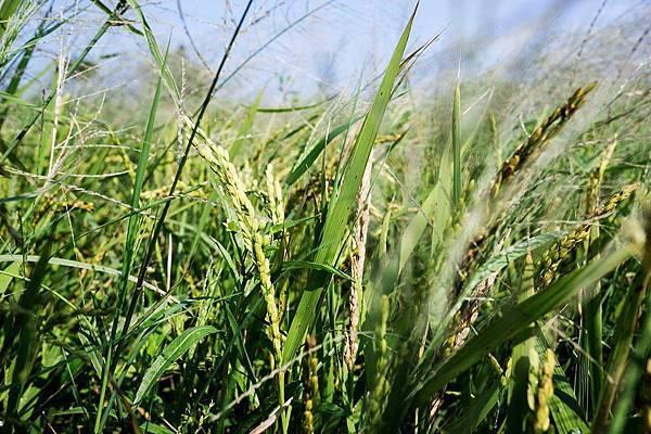 阿娘喂啊!這是稻田嗎?(4).jpg