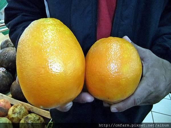 山東青島巨型柳橙 (3).JPG