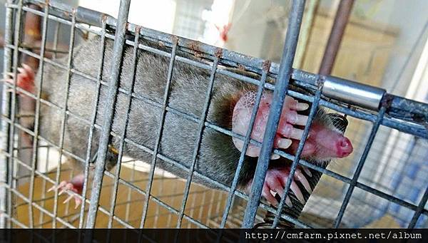 台灣鼴鼠(2).JPG