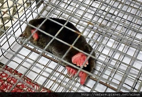 台灣鼴鼠(5).JPG