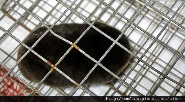 台灣鼴鼠(6).JPG