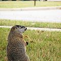 北美土撥鼠為嚙齒目動物(圖片來源:photopin)..jpg