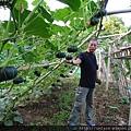自然農法貝貝栗子南瓜01.JPG