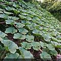 自然農法貝貝栗子南瓜06.JPG