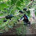 自然農法貝貝栗子南瓜07.JPG