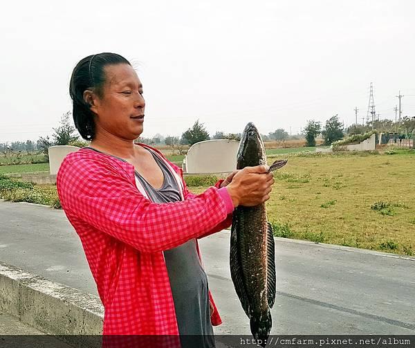 20170313泰國鱧魚01.jpg