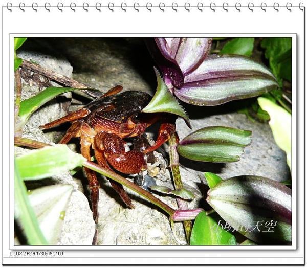 螃蟹吃蛞蝓.jpg