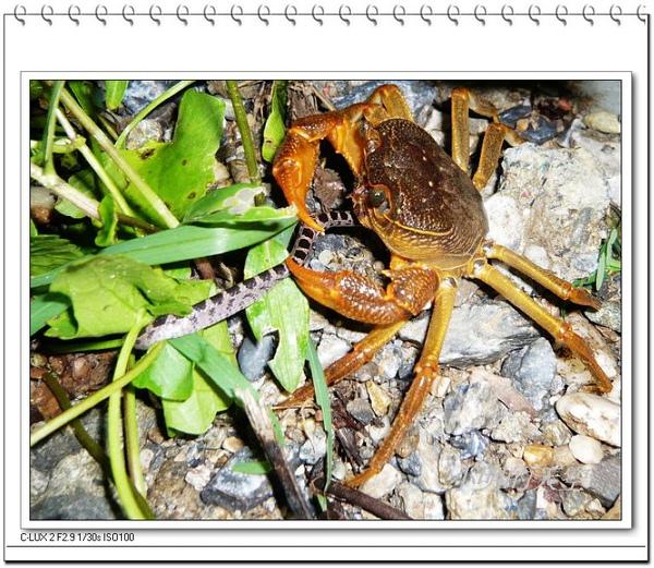 螃蟹捕蛇.JPG