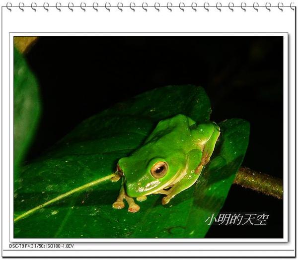 莫式樹蛙.JPG