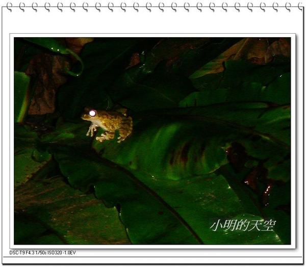 褐樹蛙.JPG