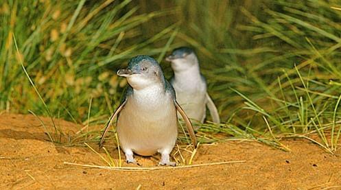 墨爾本-菲利浦島 17 神仙企鵝館.