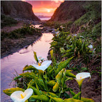 Calla Lilies and Sunset.jpg