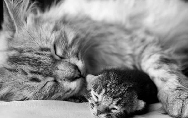 gray_cat_kitten_sleep_couple_affection_baby_hd-wallpaper-62844 (1).jpg