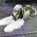 阿富汗犬.jpg