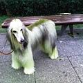 阿富汗犬 (2).jpg