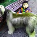 阿富汗犬 (3).jpg