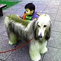 阿富汗犬 (4).jpg