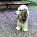 阿富汗犬 (5).jpg